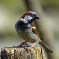 A brown and gray house sparrow