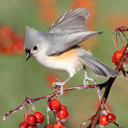 Tufted Titmouse on a berry bush